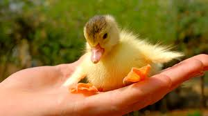 Image result for cute funny duck