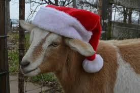 goat in Santa hat | Eden Hills